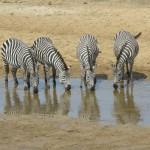 TravelCUTS - zebras